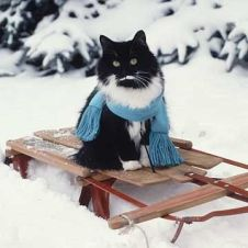 cat on sled