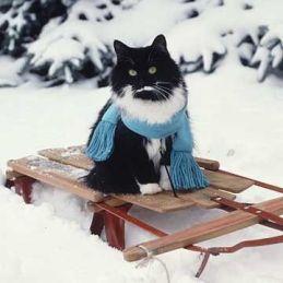 cat on sled
